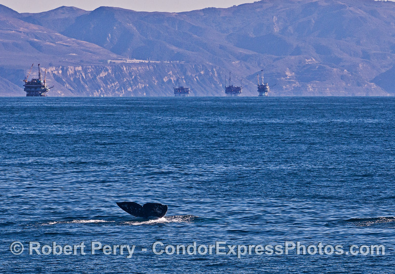 Gray whale tail with the Santa Barbara offshore oil platforms in back.