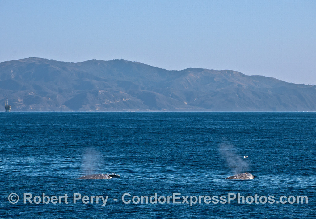 Two gray whales and the Santa Ynez mountains in back.