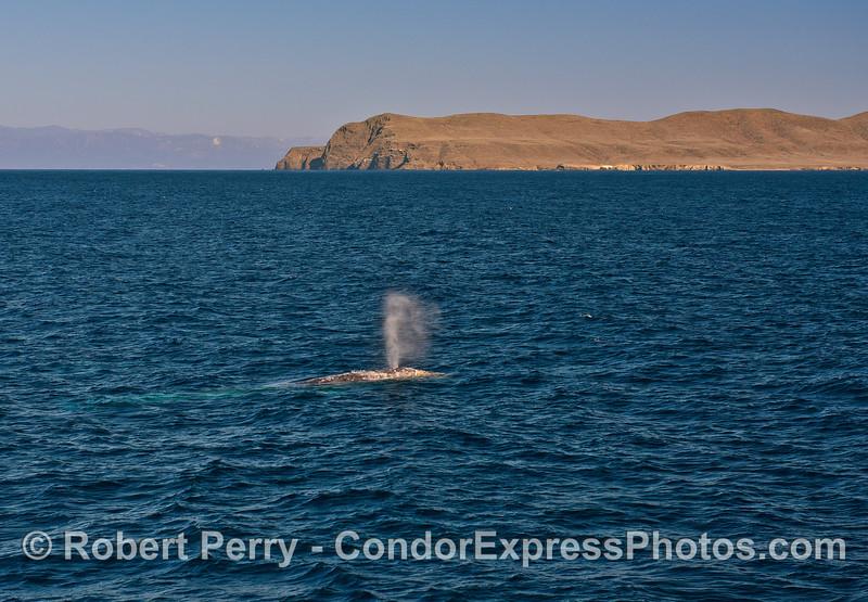 Gray whale in Santa Cruz Channel with Santa Cruz Island in back