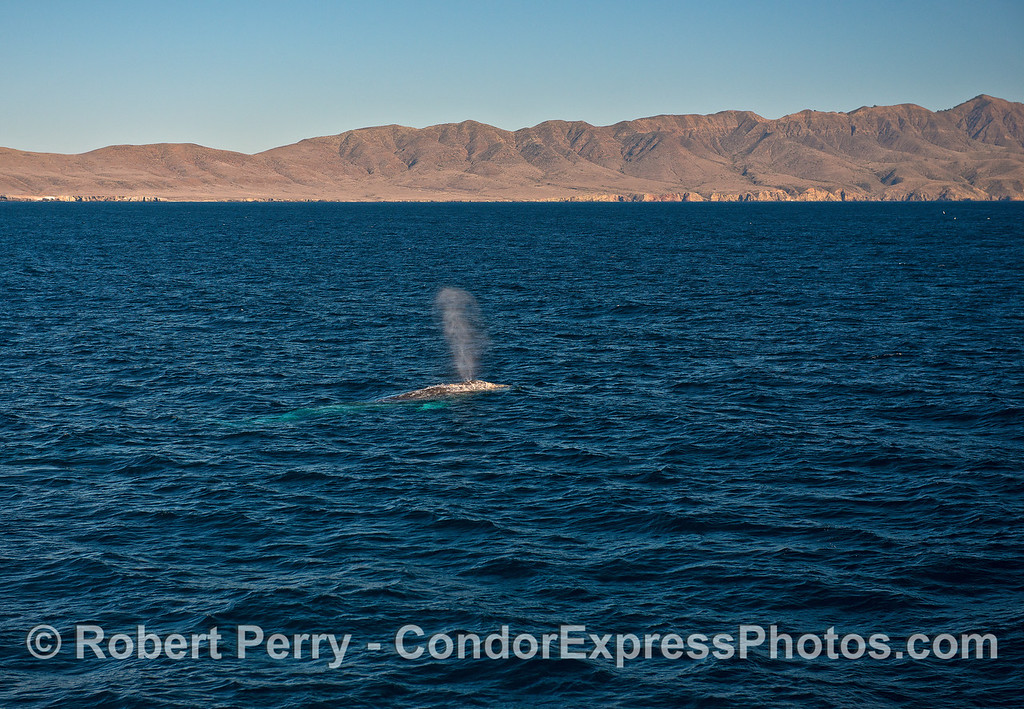 Gray whale in Santa Cruz Channel with Santa Cruz Island in back