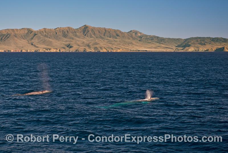 Gray whales in Santa Cruz Channel with Santa Cruz Island in back