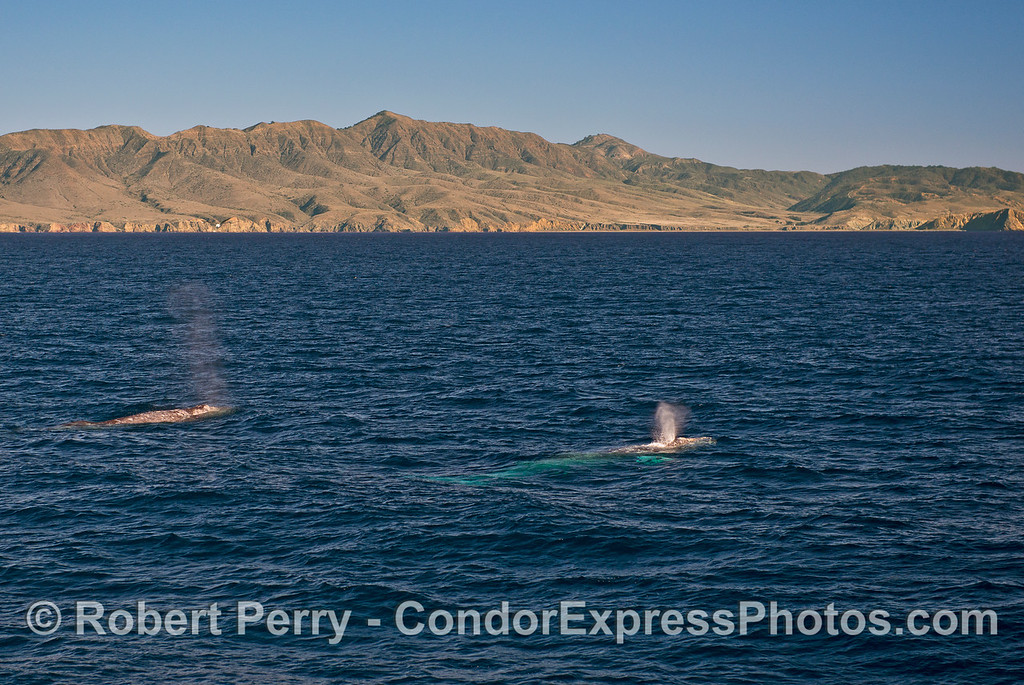 Gray whales in Santa Cruz Channel with Santa Cruz Island in back