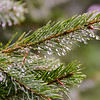 We needed a rain shot for the website, so I went out in the back of the parking lot and got this shot of raindrops clinging to evergreens. Shot in Hampden Township, Cumberland County, Sept. 14, 2015.