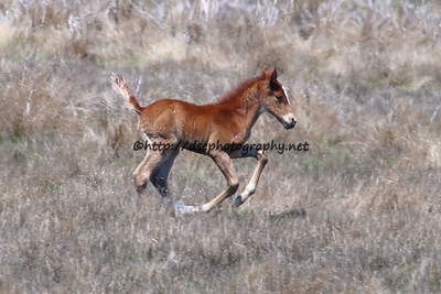 Lyra's Vega's 2015 Foal