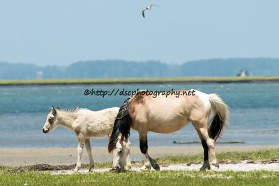 Molly Rosebud & 2015 Foal