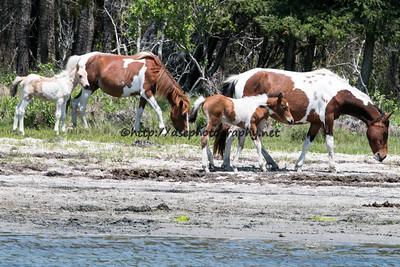 Anne Bonny & Skylark with their 2015 Foals