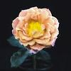 07-16-15 Painted Peach Rose