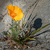 04-17-15 California Poppy