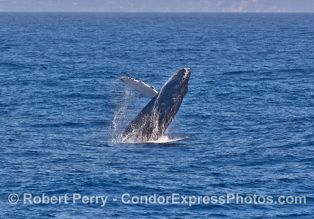 Image 1 of 3 in a row:   a humpback whale calf breaches.