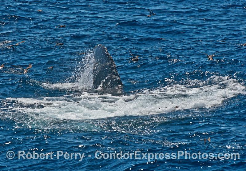 A feeding humpback rolls around.