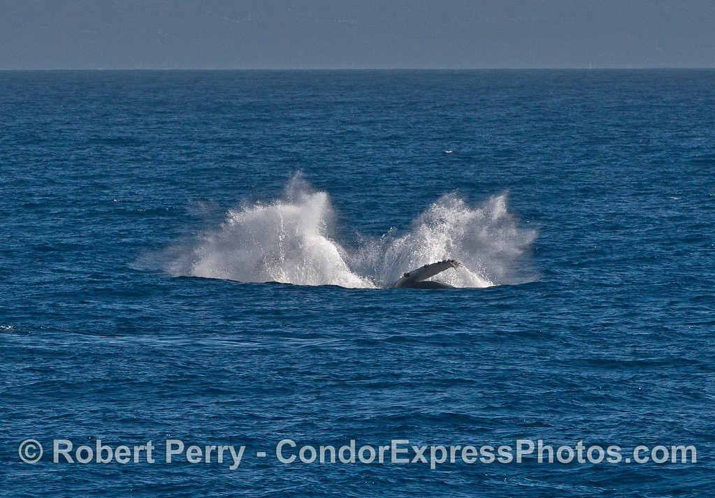 Image 3 of 3 in a row:   breaching humpback whale calf.