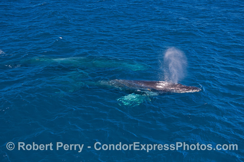 Mother and calf - humpback whales.