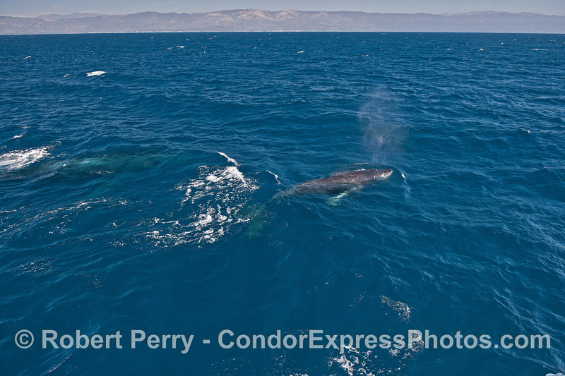 Clear blue water and a spouting humpback whale - whole body visible.