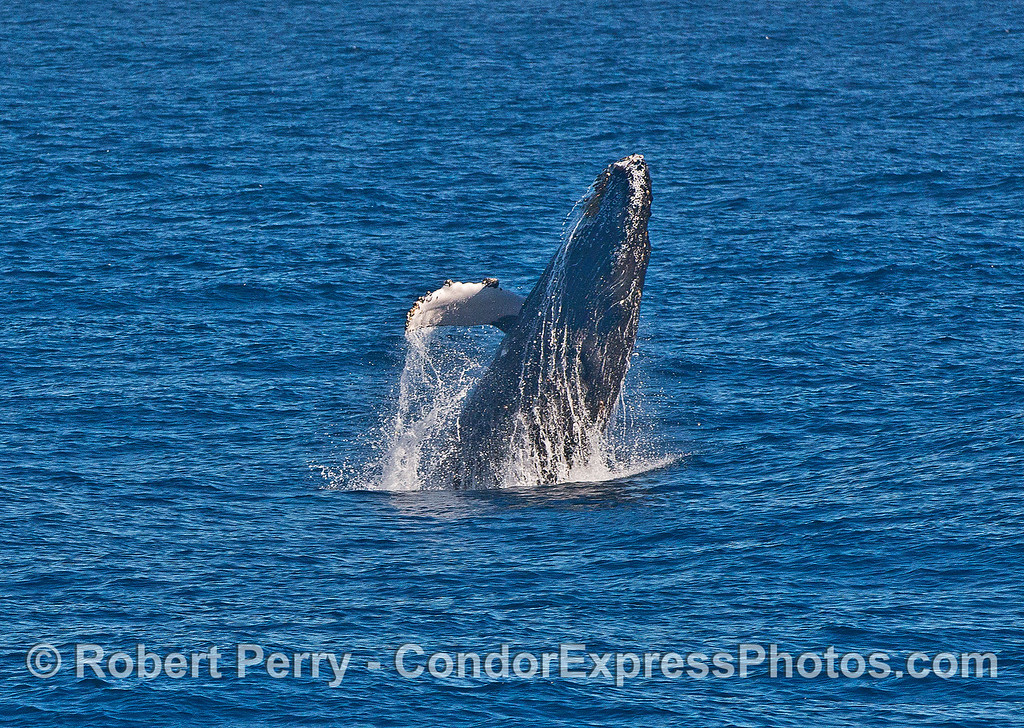 Image 2 of 3 in a row:   a humpback whale calf breaches.