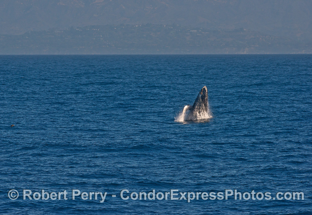 Image 1 of 3 in a row:   breaching humpback whale calf.