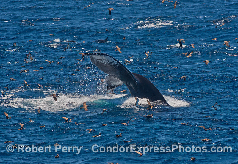 Shearwaters and a diving humpback whale.