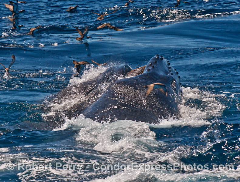 A sideways surface lunge feeding humpback whale - looking down the left side of the whale towards the head and baleen.   Did any shearwaters end up in the mouth?