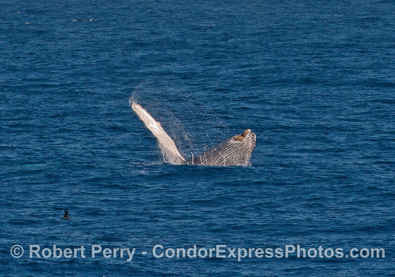 Image 2 of 3 in a row:   breaching humpback whale calf.