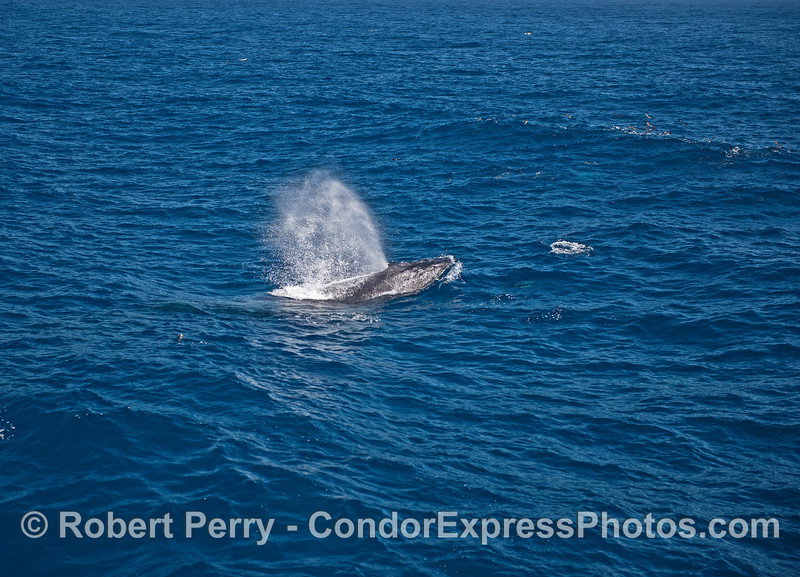 Catching a wave - a spouting humpback whale.