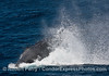 Image 1 of 2 in a row:   humpback whale tail throw.