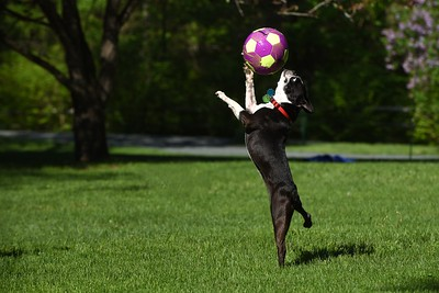 """Buster"""" with soccer ball at his home in Woodstock   owner Faith Wishart"""