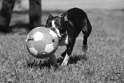 """Buster"""" with soccer ball at his home in Woodstock   owner Faith Wishart 2"""