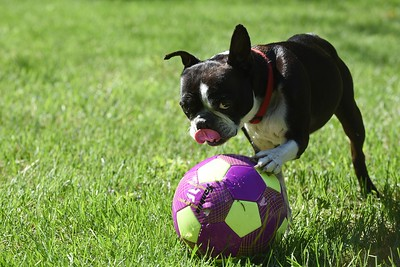 "Buster"" with soccer ball at his home in Woodstock   owner Faith Wishart 1"