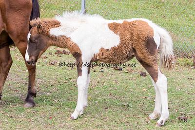 Firestar's Foal