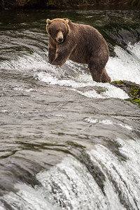 The lone bear that we saw at the falls.  He wasn't very good at catching fish.