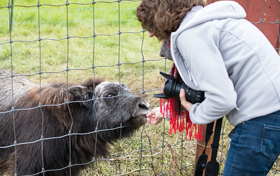 Paula feeding a baby musk ox at the Musk Ox farm.  They have soft wet little noses.