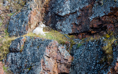 Dall sheep reclining on a cliff.  There is a female to the left (not in photo).