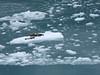 114-harbor seals on iceberg