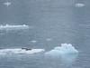 090-Harbor Seals on iceberg