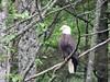 220-bald eagle