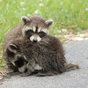 Baby raccoons in our driveway.