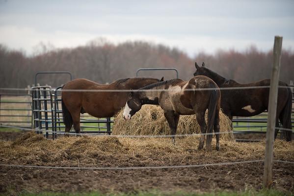 JOED VIERA/STAFF PHOTOGRAPHER-Wrights Corners, NY-Horses graize on hay on Ridge Road.