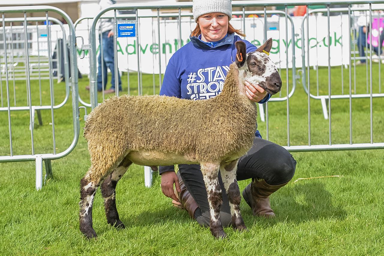 1st Prize Ram Lamb from Mrs Julie Loughery