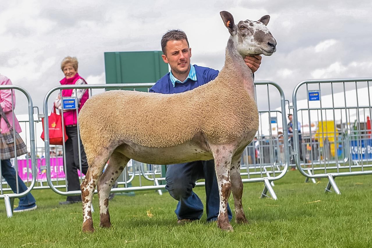 1st Prize Shearling Ewe from Mr John Blaney