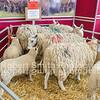 Beltex lambs on Welsh Mule Hoggs