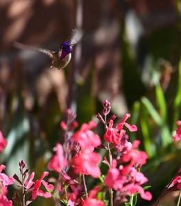 Bob Costa's hummingbird