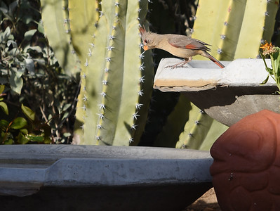 Pyrrhuloxia checking out the bird bath.