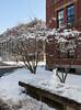 Snow bunnies, Harvard Yard, Jan. 25
