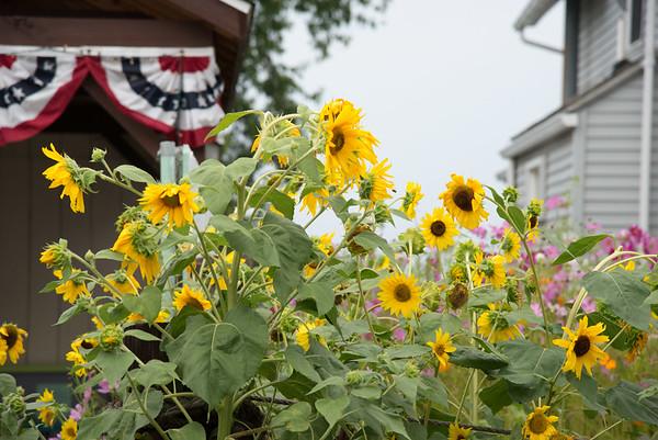 JOED VIERA/STAFF PHOTOGRAPHER-Olcott, NY-Sunflowers fill the garden of this Ontario Street home.