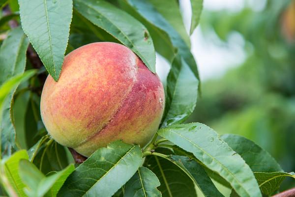 JOED VIERA/STAFF PHOTOGRAPHER-Olcott, NY-Peaches grow on trees at a Lake  Road Farm.