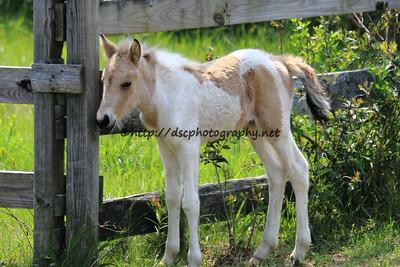 Anne Bonny's 2015 Foal-Chayni