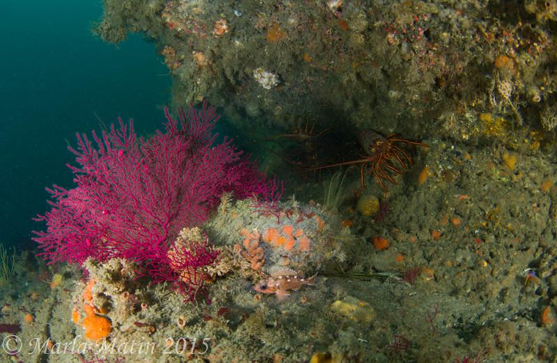 Honeycomb rockfish