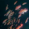 Schooling vermillion rockfish