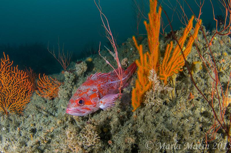 Vermillion Rockfish and gorgonians
