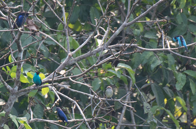 Opal-rumped tanager, green honeycreeper, purple honeycreeper, and black-faced dacnis