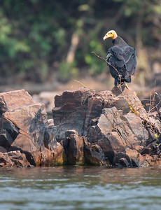 Greater yellow-headed vulture with a sexy over the shoulder pose